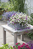 Tin box with Lobelia 'Star Mix' in white, purple and blue