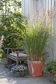 Stipa calamagrostis syn. Achnatherum calamagrostis