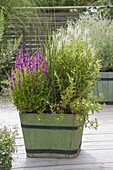 Wooden vat with plants for shore and wet meadow lythrum