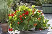 Tropaeolum 'Tip Top Scarlet' (nasturtium), Roman wormwood
