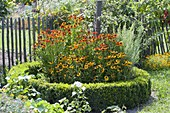 Helenium 'Sahin's Early Flower' 'Wyndley' in Rondell with Buxus
