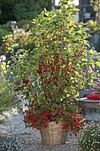 Redcurrants 'Rolan' planted with Calibrachoa