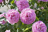 Rose 'Hunyard', more flowering, healthy, little or no scent