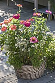 Basket with zinnia, marjoram and thyme