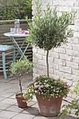 Olea europaea 'Peace Tree' planted with Calibrachoa