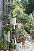 Olea europaea in tin cans, lavender