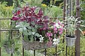 Baskets on the green garden fence, Iresine herbstii, sage