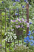 Petunia 'Crazytunia Starlight Blue', Calibrachoa 'White Improved'
