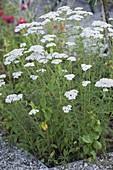 Achillea millefolium, popular classic medicinal plant