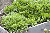Frizeesalat, endive salad in the self-built raised bed