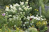 Hydrangea paniculata 'Limelight' with white dahlias