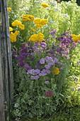 Achillea filipendulina 'Coronation Gold', millefolium 'Lilac Beauty'