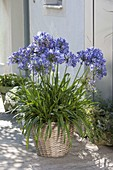 Agapanthus africanus, in a bucket