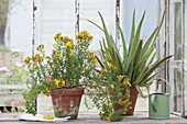 Hypericum perforatum and aloe vera in clay pots at the window