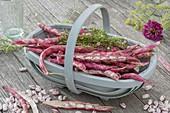 Woodchip basket with freshly harvested Borlotti beans and savory