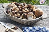 Fresh forest mushrooms, chestnut pipe, brown cape (Imleria badia)