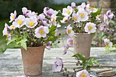 Bouquets of Anemone hupehensis 'September charm'