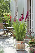Gladiolus 'Plumtart' in wooden tub on the terrace