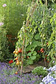 Plant tomatoes on willow branches in the vegetable garden