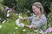 Woman cuts garden cosmos blossoms