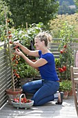 Woman harvesting tomatoes on the balcony