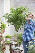Smooth parsley 'Hamburger cut' in hanging basket