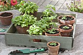 Young Basil plants and seedlings in clay pots