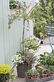 Gooseberry 'Rokula', stems, maturing in July