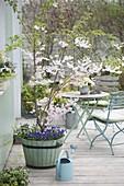 Terrasse mit Prunus 'Accolade' (Zierkirsche) im Holz-Kübel, unterpflanzt