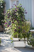 Plant clematis in white wooden tubs