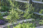 Green asparagus plants in vegetable bed