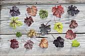 Board of different Heuchera (purple bell) varieties