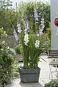 Gladiolus 'Cote d'Azur', 'White' (gladiolus) in wooden tub