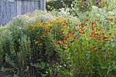 Perennial flowerbed with Helenium 'Waltraut', 'Zimbelstern' (Sun Bride)