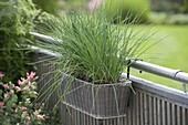 Basket with chives (Allium schoenoprasum) on the railing