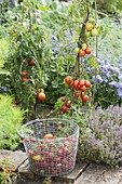 Tomato harvest in the farmers garden
