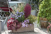 Wooden box with Heuchera 'paprika', Aster dumosus