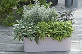 Various types of sage in plastic box-Salvia officinalis 'Rotmühle'