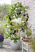 Grapevine 'Michurinski', Amurtraube at the trellis