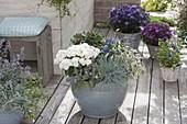 Gray bucket planted autumnally, Chrysanthemum 'Tonka white'