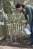 Plant sour cherry in the garden