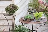 Easy-care succulent perennials on the terrace-Sedum tetractinum