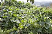 Gourd, calabash (Lagenaria) grows on compost soil