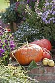 Edible Pumpkin 'Red Zentner' syn. 'Rouge d'Etampes'