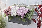 Balcony box with chrysanthemums 'Labo' white 'Tonka' rose, 'Sultan Cerise'