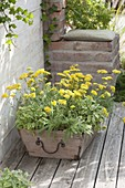 Yellow planted wooden box, Achillea Desert Eve 'Yellow'