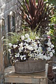 Begonia semperflorens 'Ascot Bronze White'