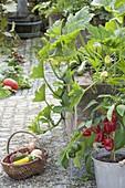 Courgette (Cucurbita pepo) in raised bed, bell pepper (Capsicum annuum)