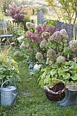 Fenced small garden with Hydrangea paniculata 'Pinky Winky'