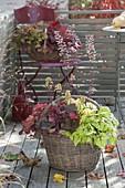 Basket planted with Heucherella 'Stop Light' and Heuchera 'Galaxy' 'Pepper'